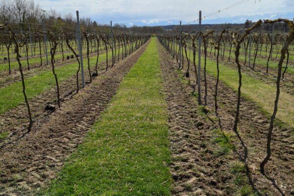 Dansk vinmark i solskin på Sjælland